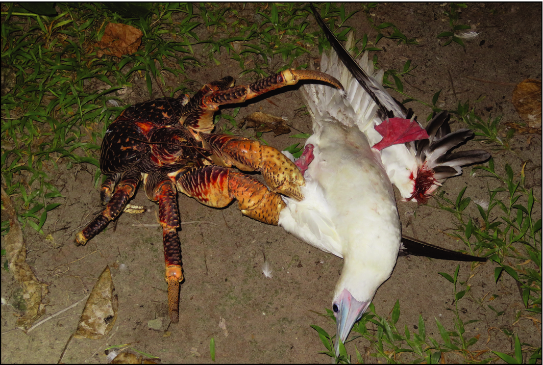 giant coconut crab facts - photo #11