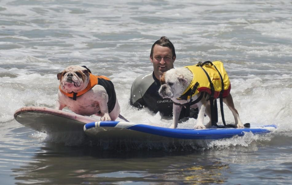 Old British bulldogs Louie and Betsy ride a wave together during the Loews Surf Dog Competition in Imperial Beach