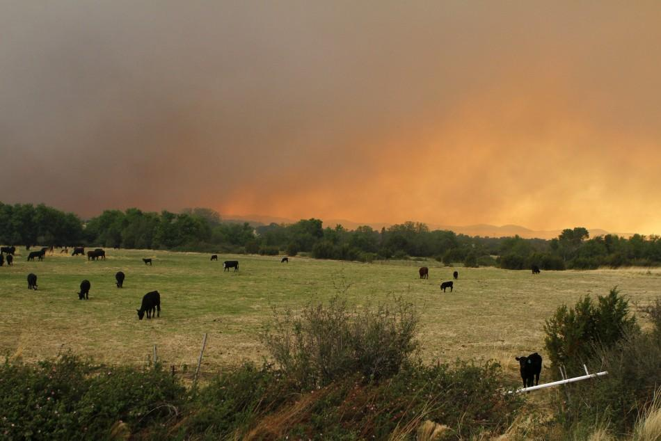 Livestock stand on an open field as smoke billows from the Wallow Wildfire in Eagar, Arizona June 7, 2011