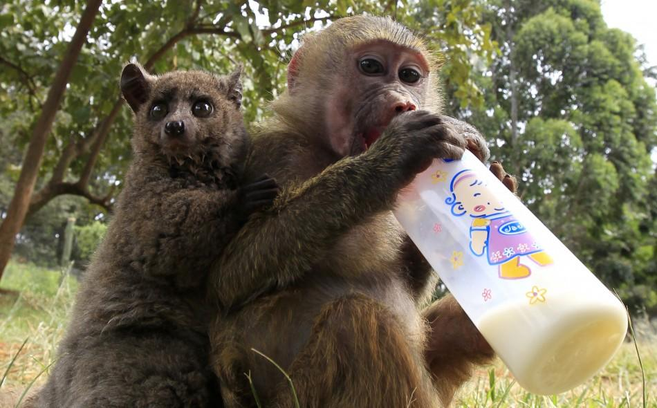 A seven-months-old yellow baboon drinks milk as it plays with a Galagos also known as a bushbaby at the Animal Orphanage in the KWS headquarters in Nairobi