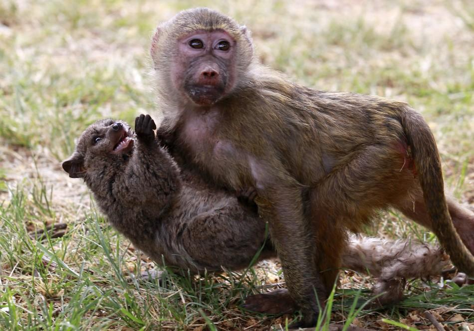 A seven-months-old yellow baboon carries a Galagos also known as a bushbaby at the Animal Orphanage in the KWS headquarters in Nairobi