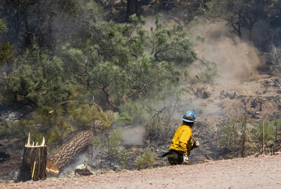 A wildland firefighter cuts down a tree on the eastern edge of the Wallow Wildfire outside Alpine, Arizona