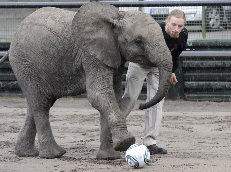 Young elephant 'Nelly' kicks football during event to predict result of upcoming Women's World Cup soccer match at safari-park in Hodenhagen