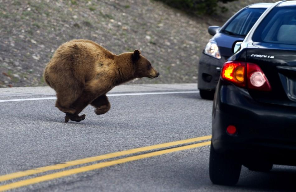 A cinnamon black bear, a subspecies of the American black bear, runs between cars near Madison in Yellowstone National Park