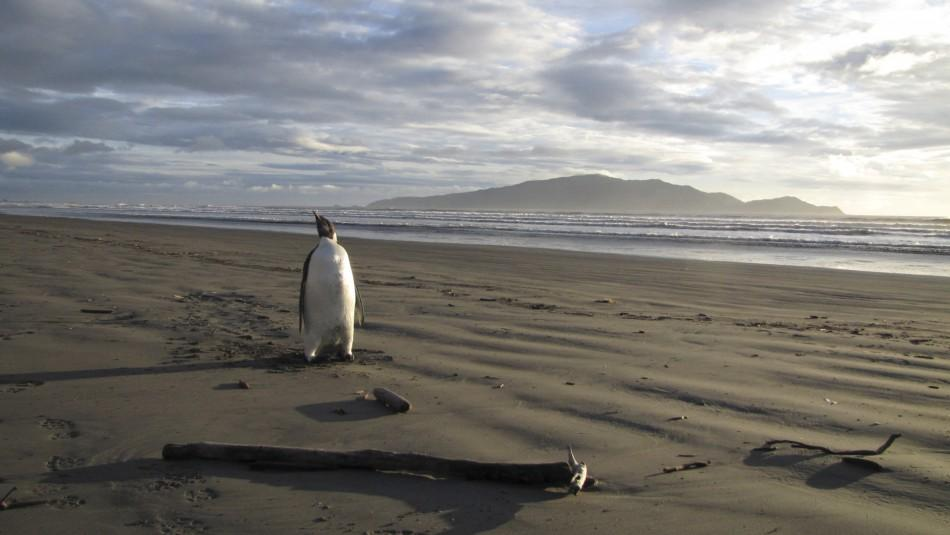 An Emperor Penguin stands on a beach on Kapiti coast
