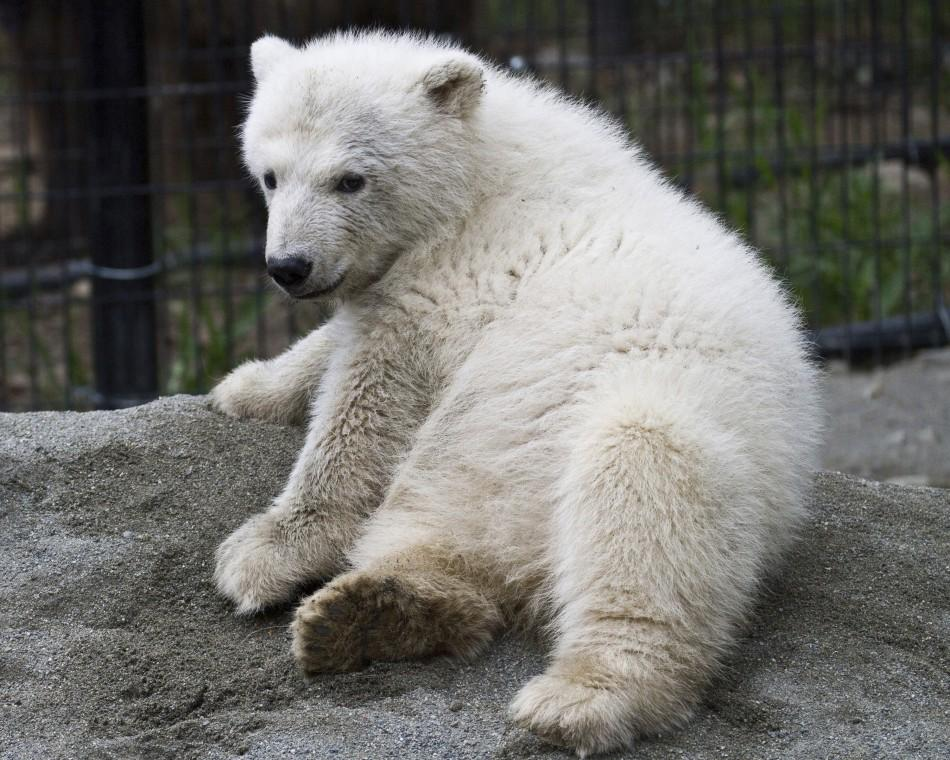 Handout photo of polar bear Qannik