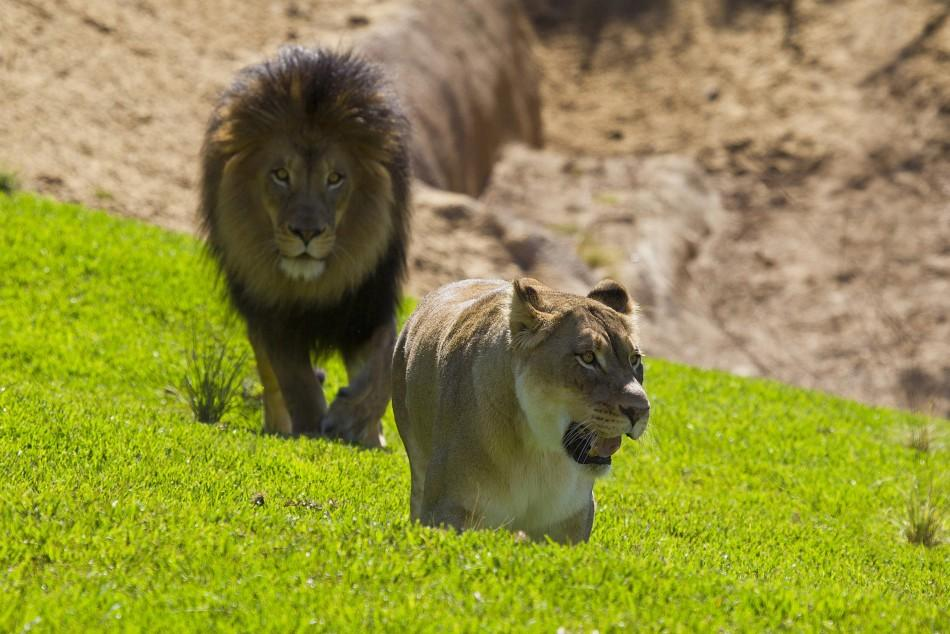 Seven-year-old lions Izu and Mina explore the renovated Lion Camp exhibit at the San Diego Zoo Safari Park