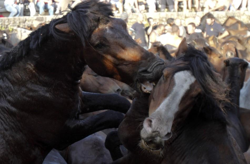 "Two horses fight during the ""Rapa Das Bestas"" traditional event in the Spanish northwestern village of Sabucedo"