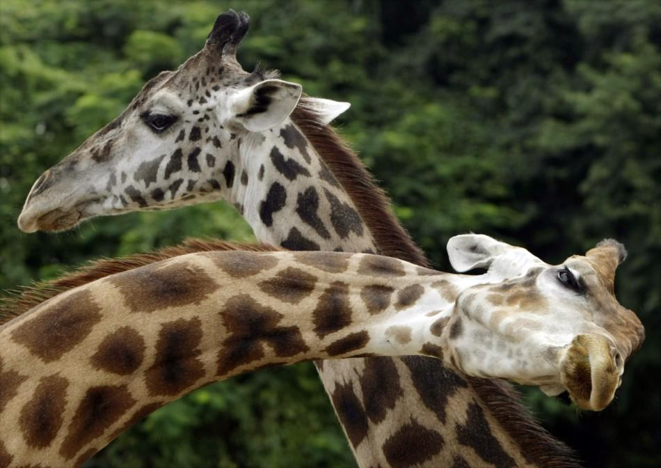 "Giraffes Zagallo (L) and Beija Ceu or ""Sky Kisser"" stand together during a ""wedding ceremony"" at the zoo of Rio de Janeiro"