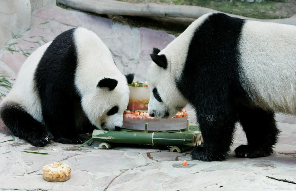 Giant pandas Lin Hui and Chuang Chuang play with an ice cake at Chiang Mai zoo