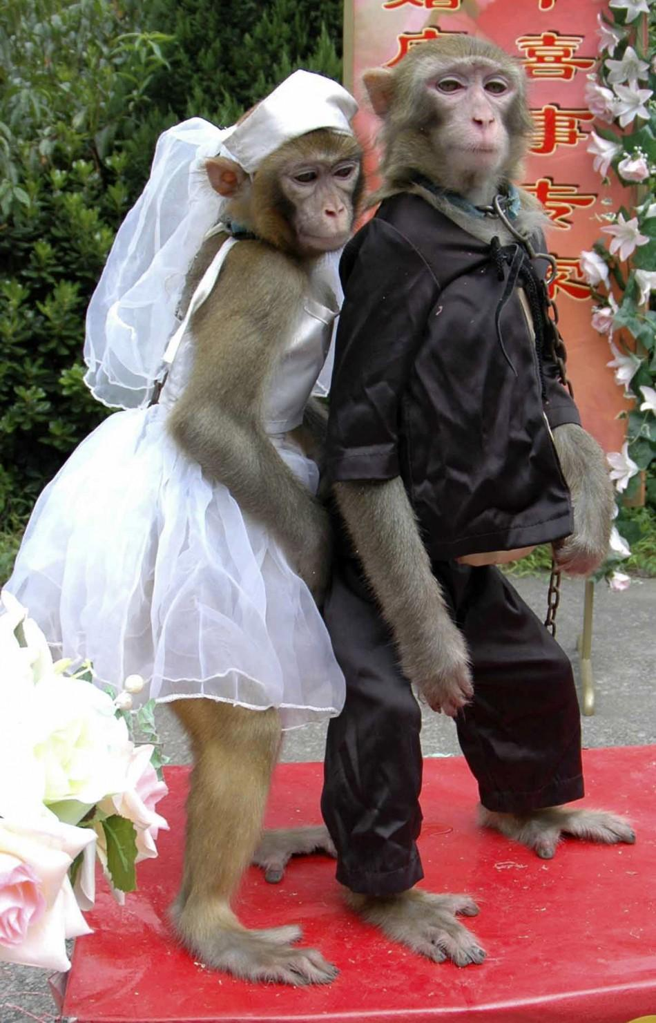 Male monkey and female monkey are seen during special wedding ceremony at zoo in Wenling