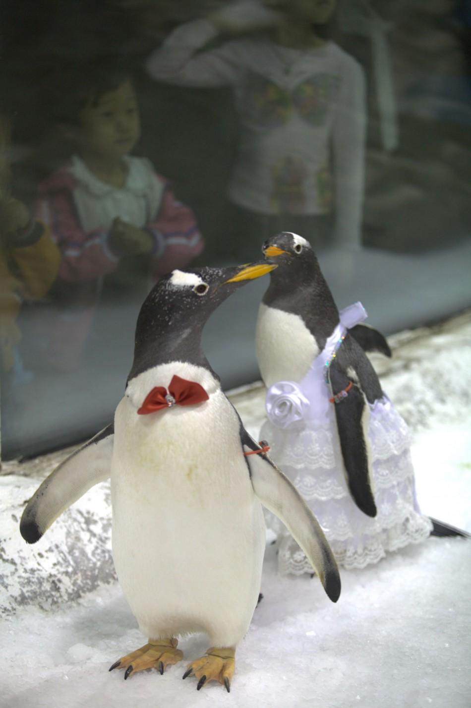 A pair of penguins dressed as bride and groom are seen during a symbolic mass wedding for penguins at the Dalian Sun Asia Ocean World in Liaoning