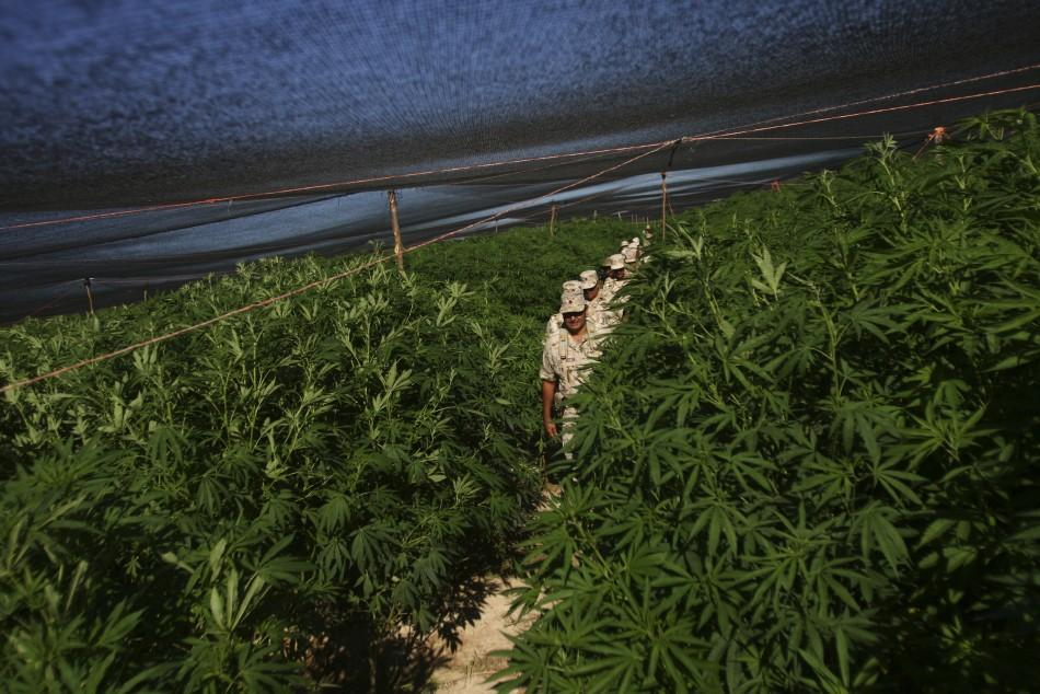 Massive Marijuana Field (4 of 5)