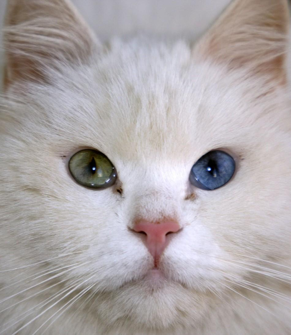 A cat with different coloured eyes
