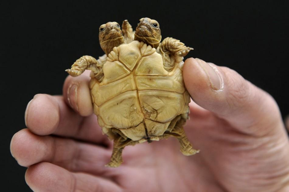 An African spurred tortoise (Geochelone sulcata) with two heads and five legs