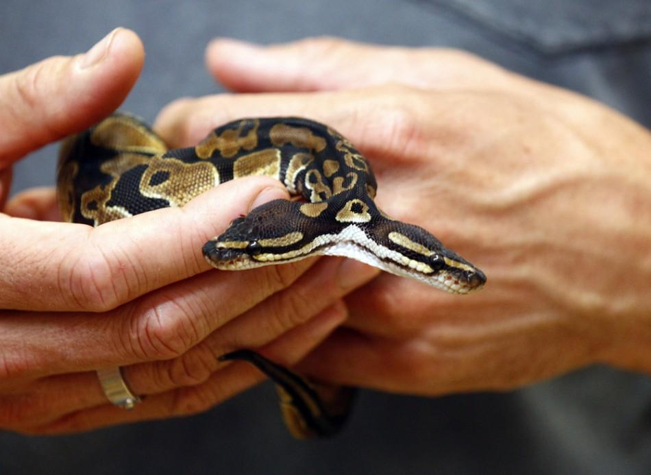 Royal python which was born with two heads
