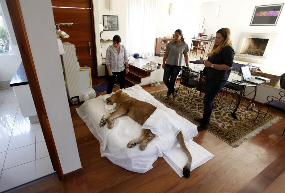 Paralyzed Brazilian Lion Ariel in Sao Paulo