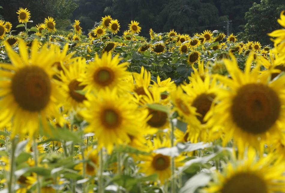 Sunflowers Planted in Fukushima to Combat Radiation are in Full Bloom