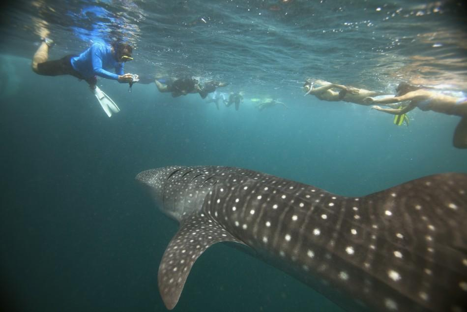 Divers Enjoy 'Last' Swim with Whale Sharks in Maldives' Hanifaru Bay