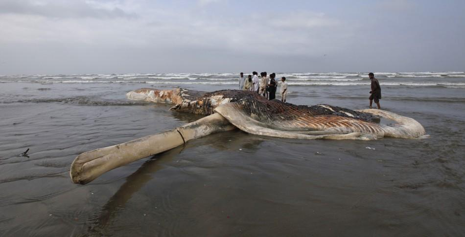 Dead Whale Carcass washes up at Karachi Beach