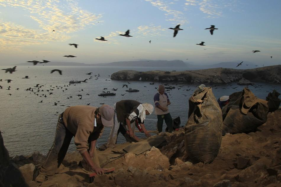 Collecting Guano in Peru