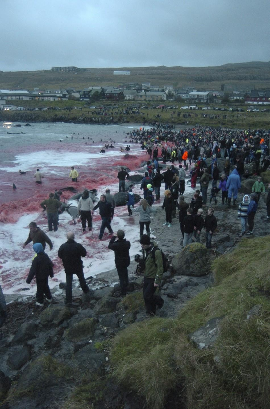 Whale Slaughter in Faroe Islands