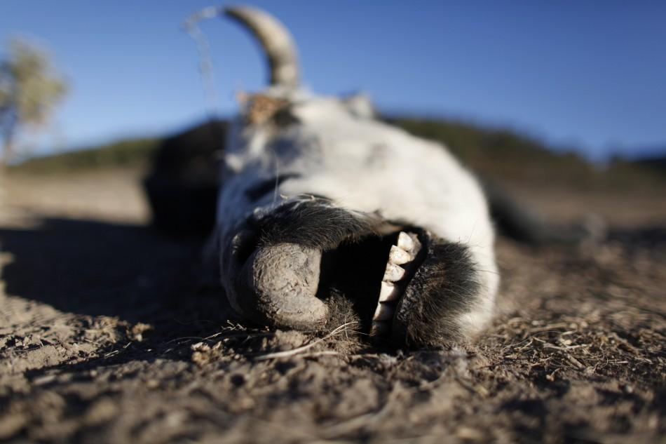 The carcass of a cow lies on the ground in San Isidro de Cienega