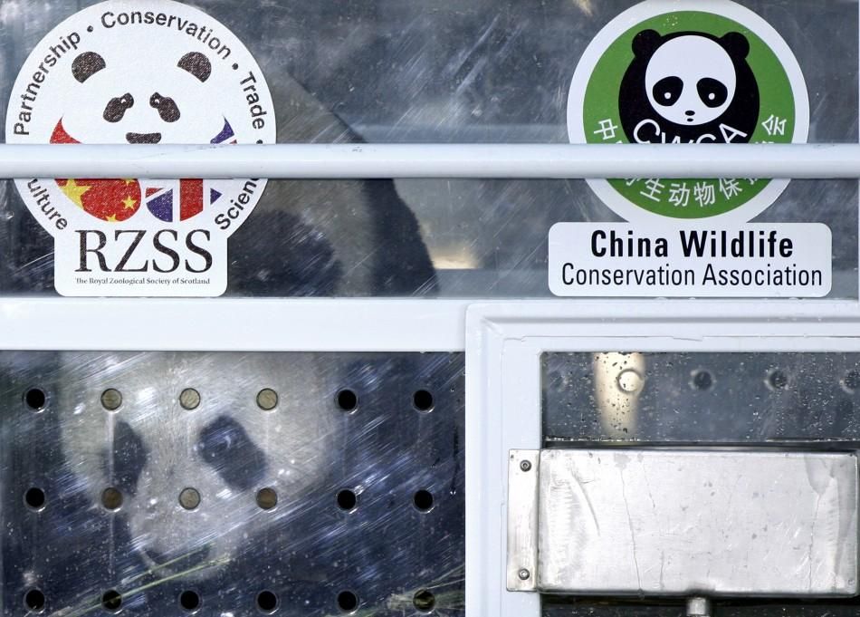 Tian Tian, a female giant panda looks out of her container as it is unloaded off an aircraft at Edinburgh airport in Scotland