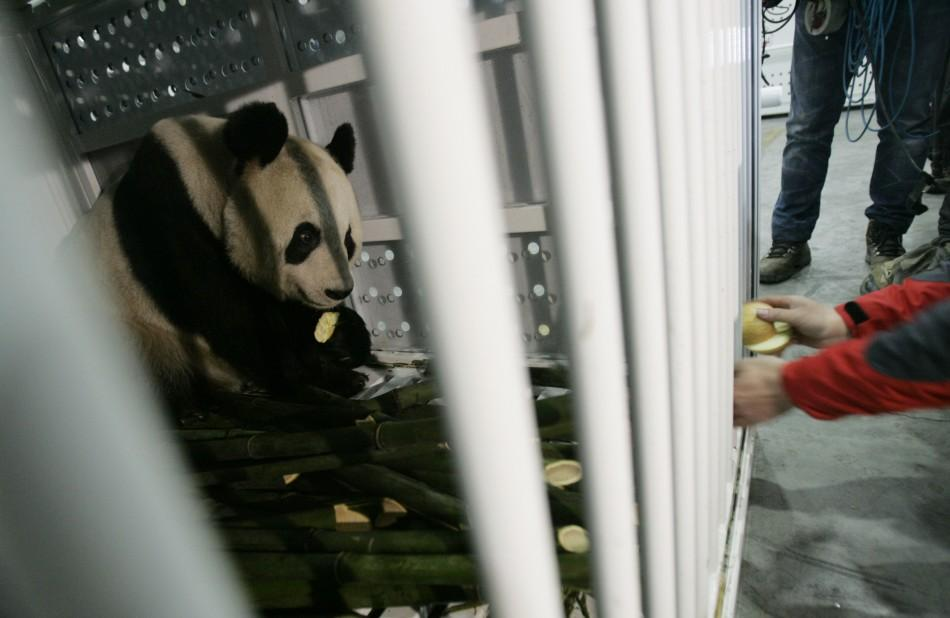 A staff feeds giant panda Yang Guang with apples before being loaded into the plane at Chengdu Shuangliu International Airport.