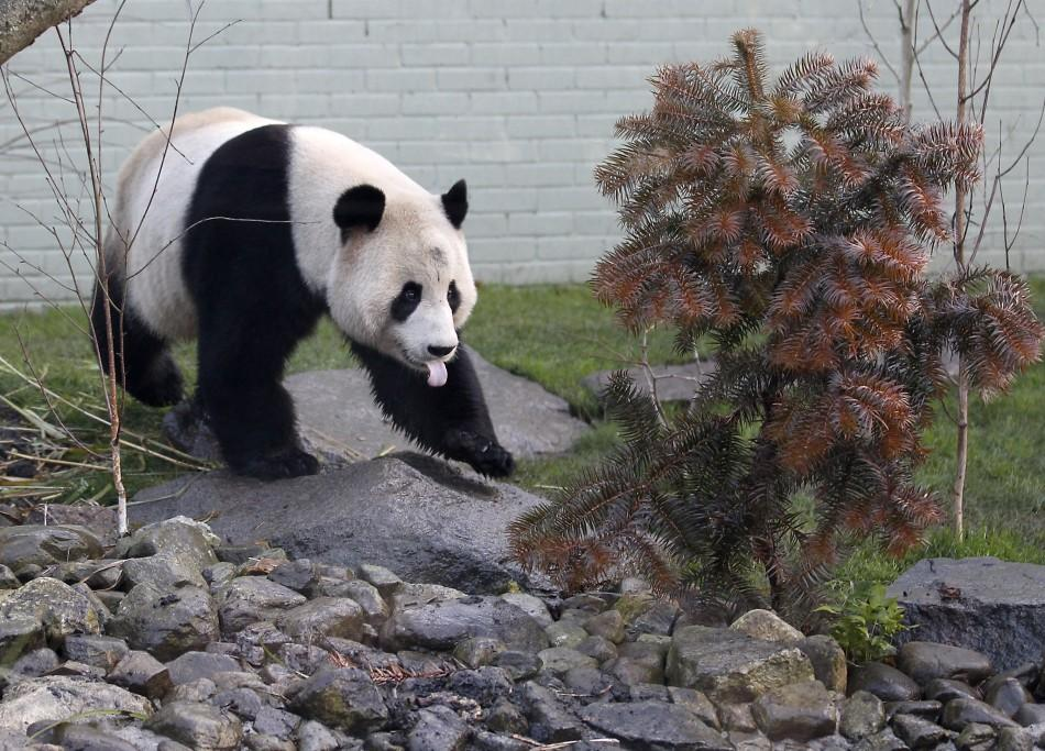 Tian Tian and Yang Guang Panda at Edinburgh Zoo