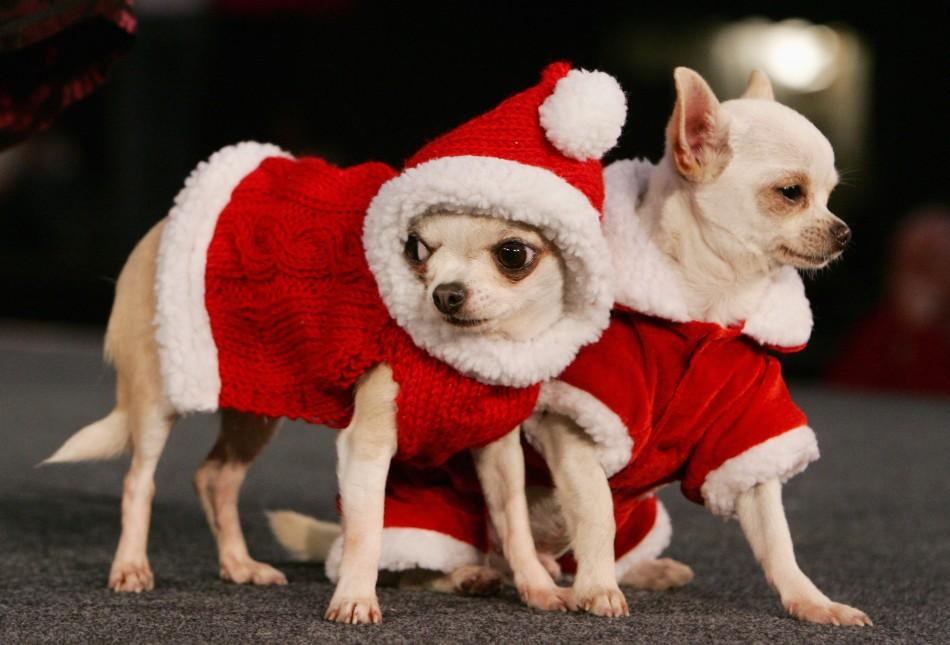 A pair of chihuahuas, dressed up as Santa Claus