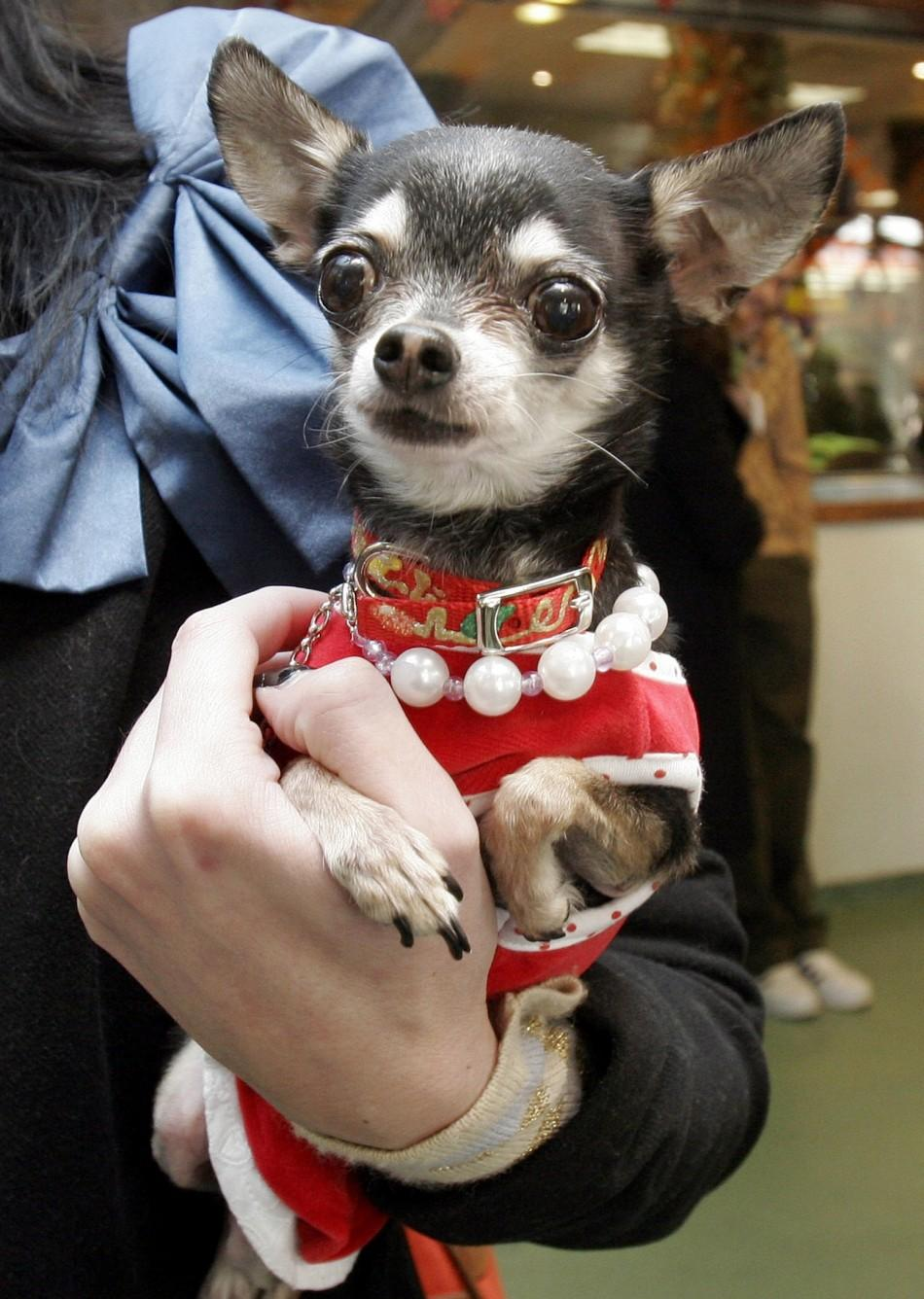 A chihuahua in Santa Claus costume