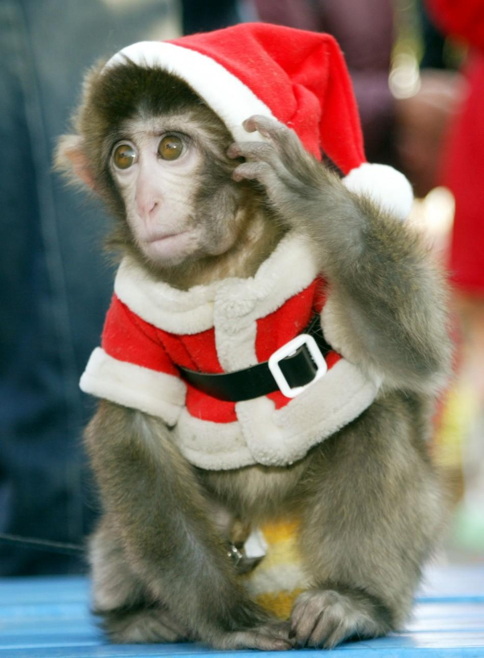 Monkey dressed in Santa Claus outfit