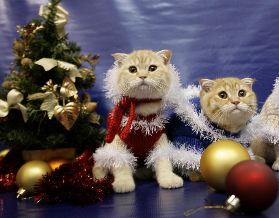 Two Scottish folds wearing Christmas costumes
