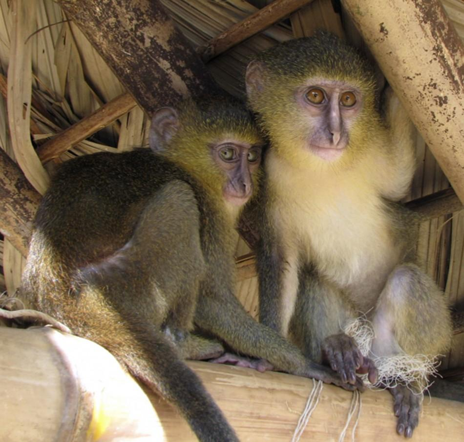 "New Species of Monkey With Unusual Coloring and ""Human Like"" Eyes Found in Congo"