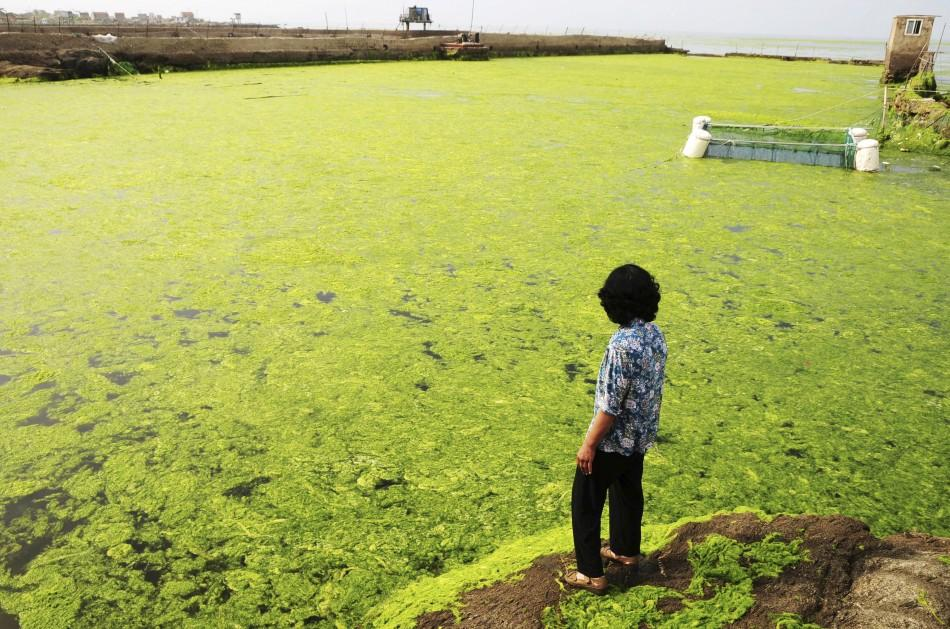 Amazing Pictures: Massive Green Algae Invasion in the Yellow Sea.