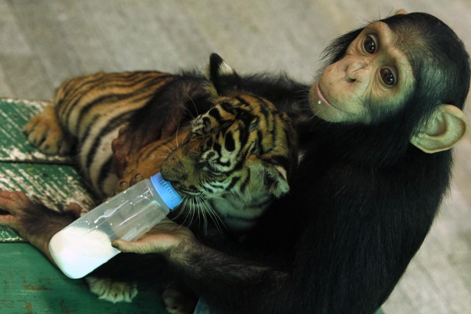 """Two-year-old chimpanzee """"Do Do"""" feeds milk to """"Aorn"""", a 60-day-old tiger cub, at Samut Prakan Crocodile Farm and Zoo in Samut Prakan province"""