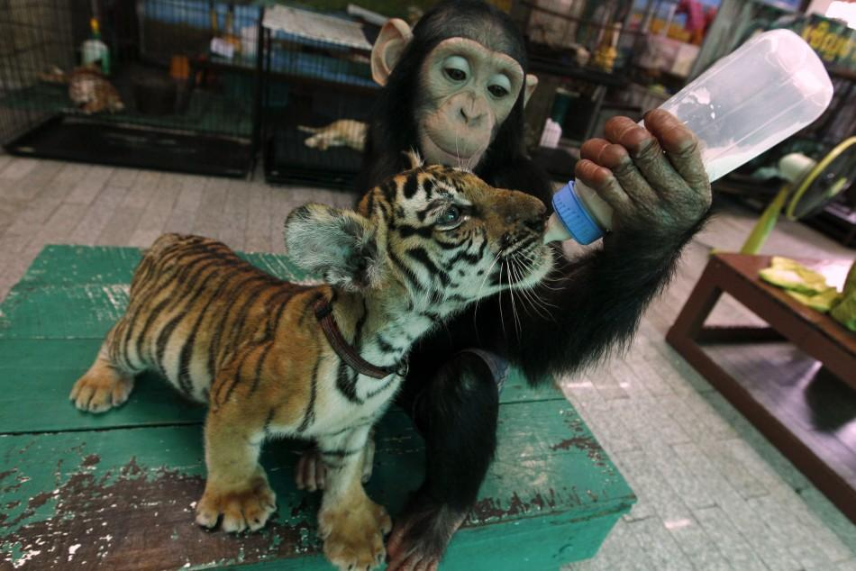 """Two-year-old chimpanzee """"Do Do"""" feeds milk to """"Aorn"""", a 60-day-old tiger cub, at Samut Prakan Crocodile Farm and Zoo in Samut Prakan provinceTwo-year-old chimpanzee """"Do Do"""" feeds milk to """"Aorn"""", a 60-day-old tiger c"""