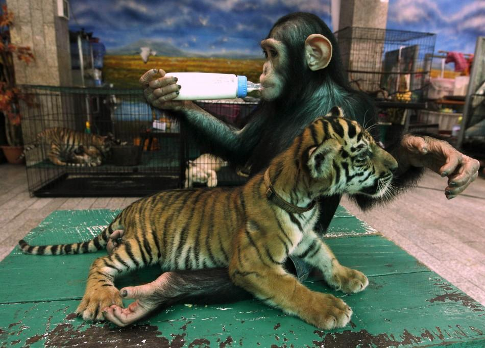 """Two-year-old chimpanzee """"Do Do"""" drinks milk beside """"Aorn"""", a 60-day-old tiger cub, at Samut Prakan Crocodile Farm and Zoo in Samut Prakan province"""