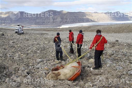 People pull remains of male polar bear away from scene after it was shot by member of a group of British campers on central island of Spitsbergen