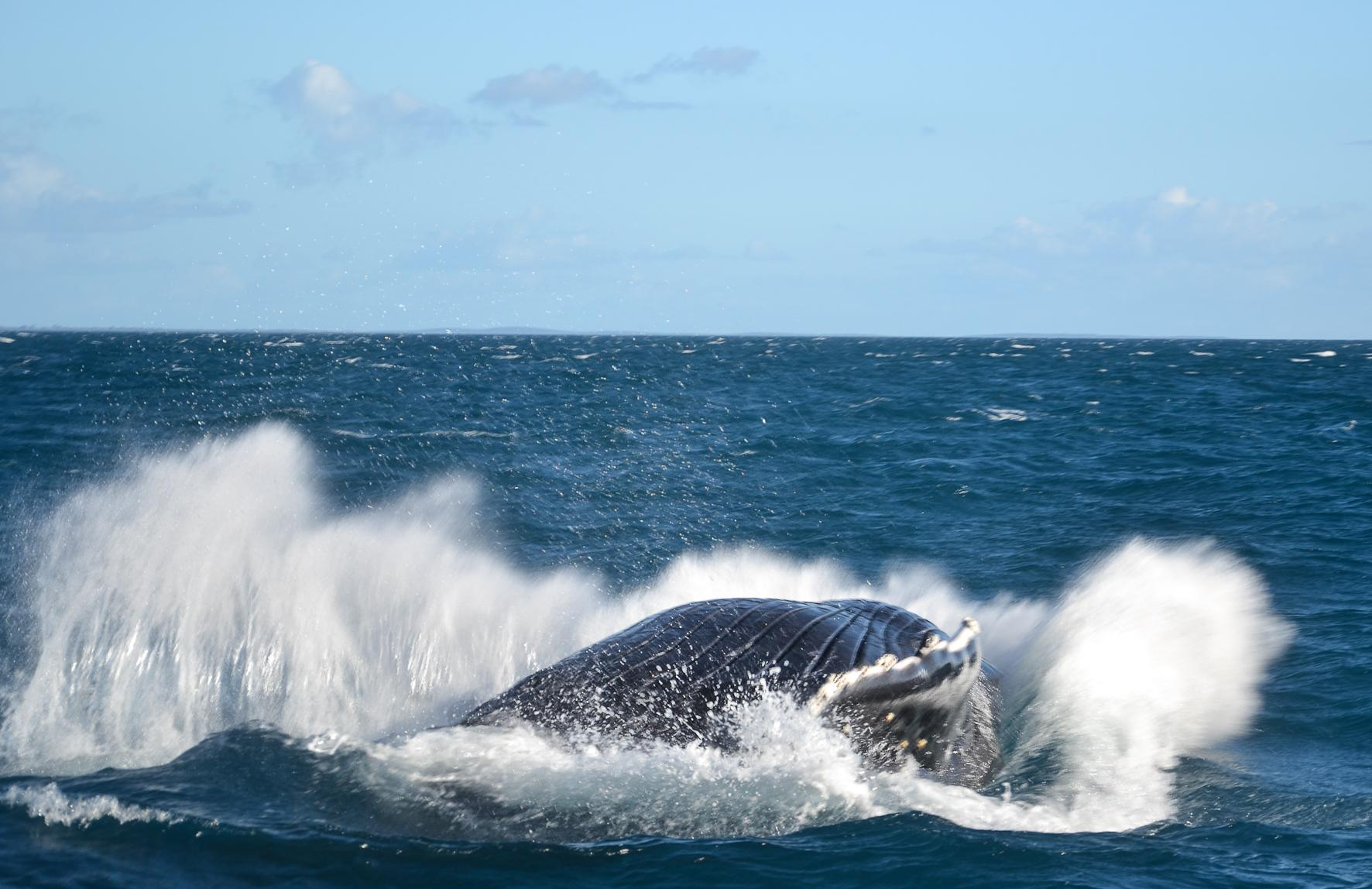 Humpback whales hervey bay
