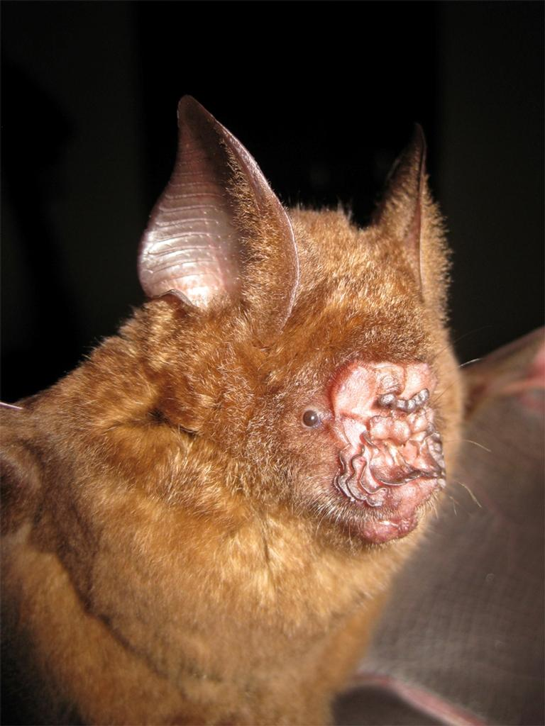 Griffins leaf-nosed bat