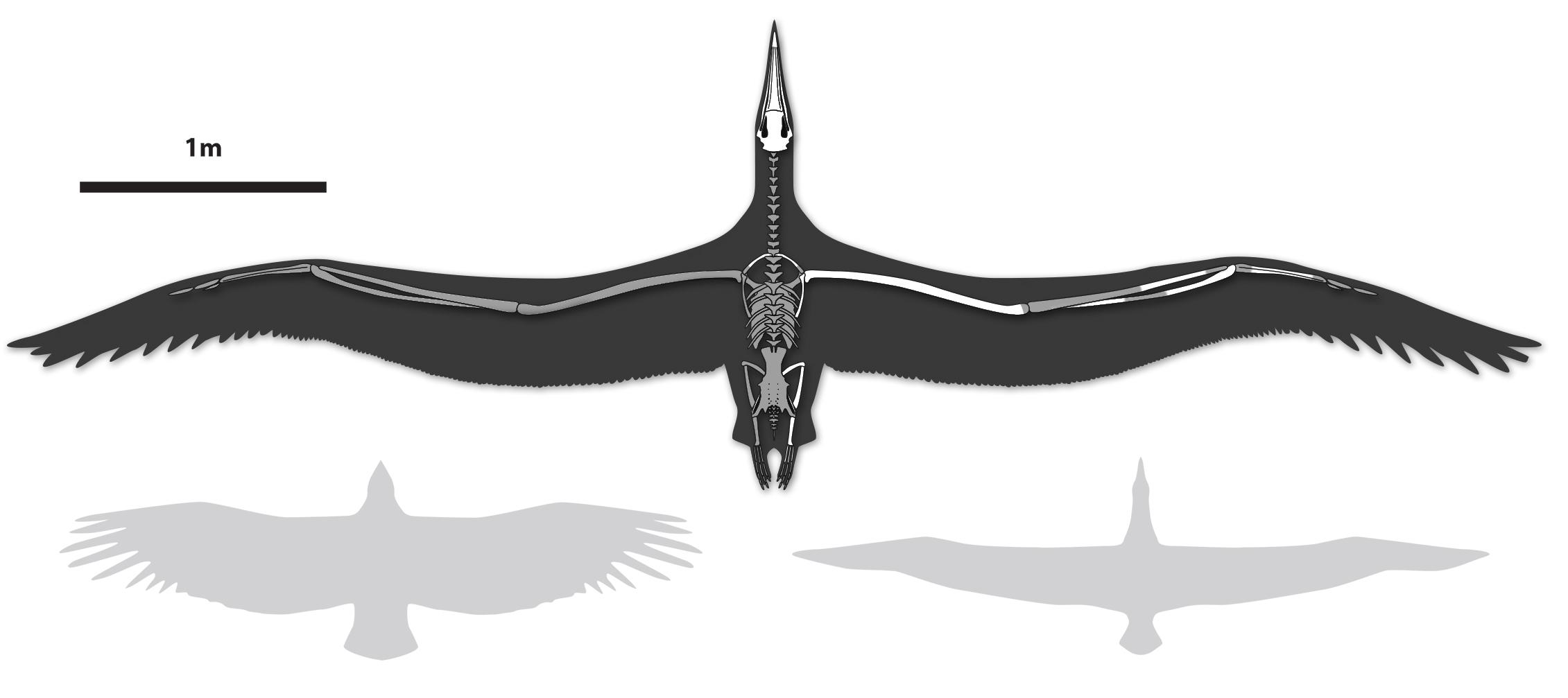 Largest-Ever-Flying-Bird