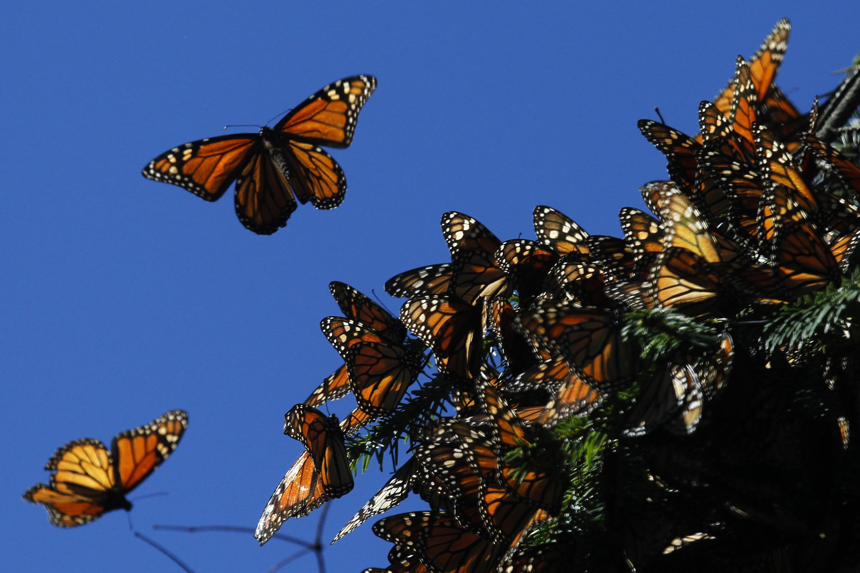 Monarch Butterfly Endangered Species Act