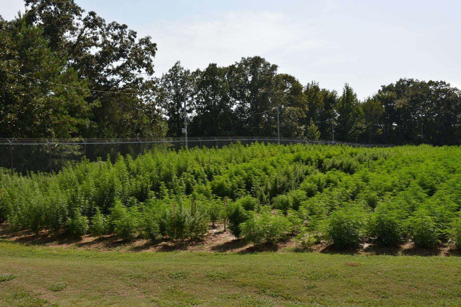 Government marijuana farm outdoor