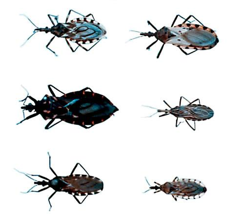 chagas_bugs_2