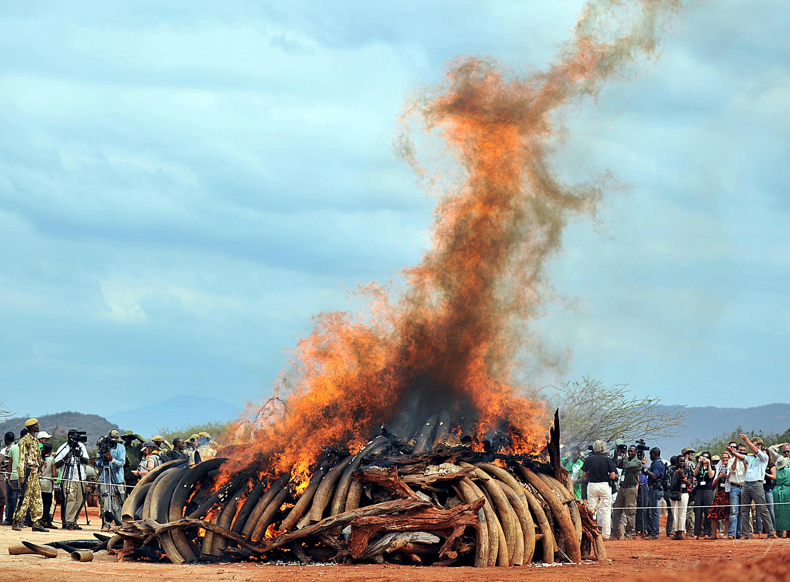 Illegal ivory at Tsavo National Park