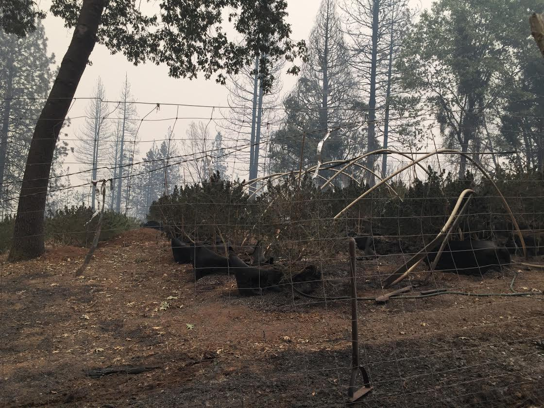 Burned marijuana farm