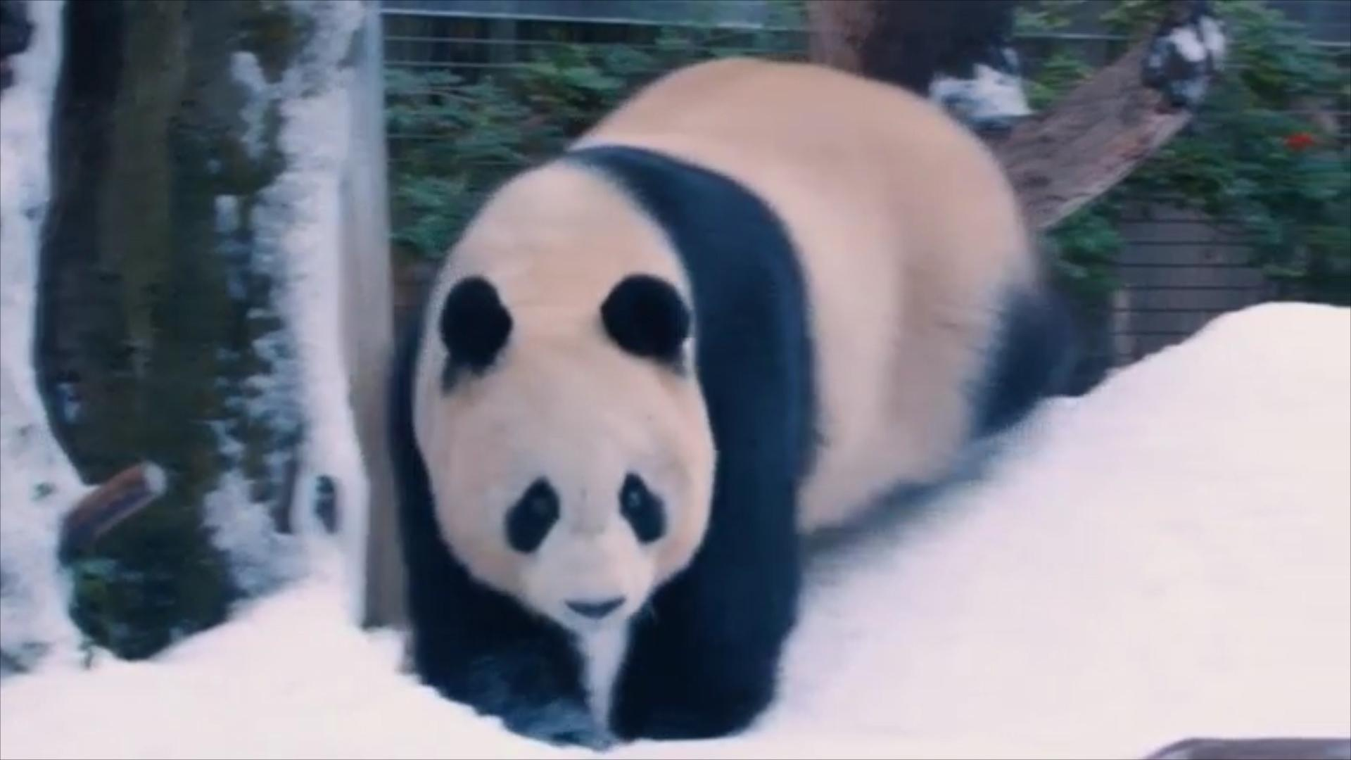 Pandas Get A Surprise Snow Day
