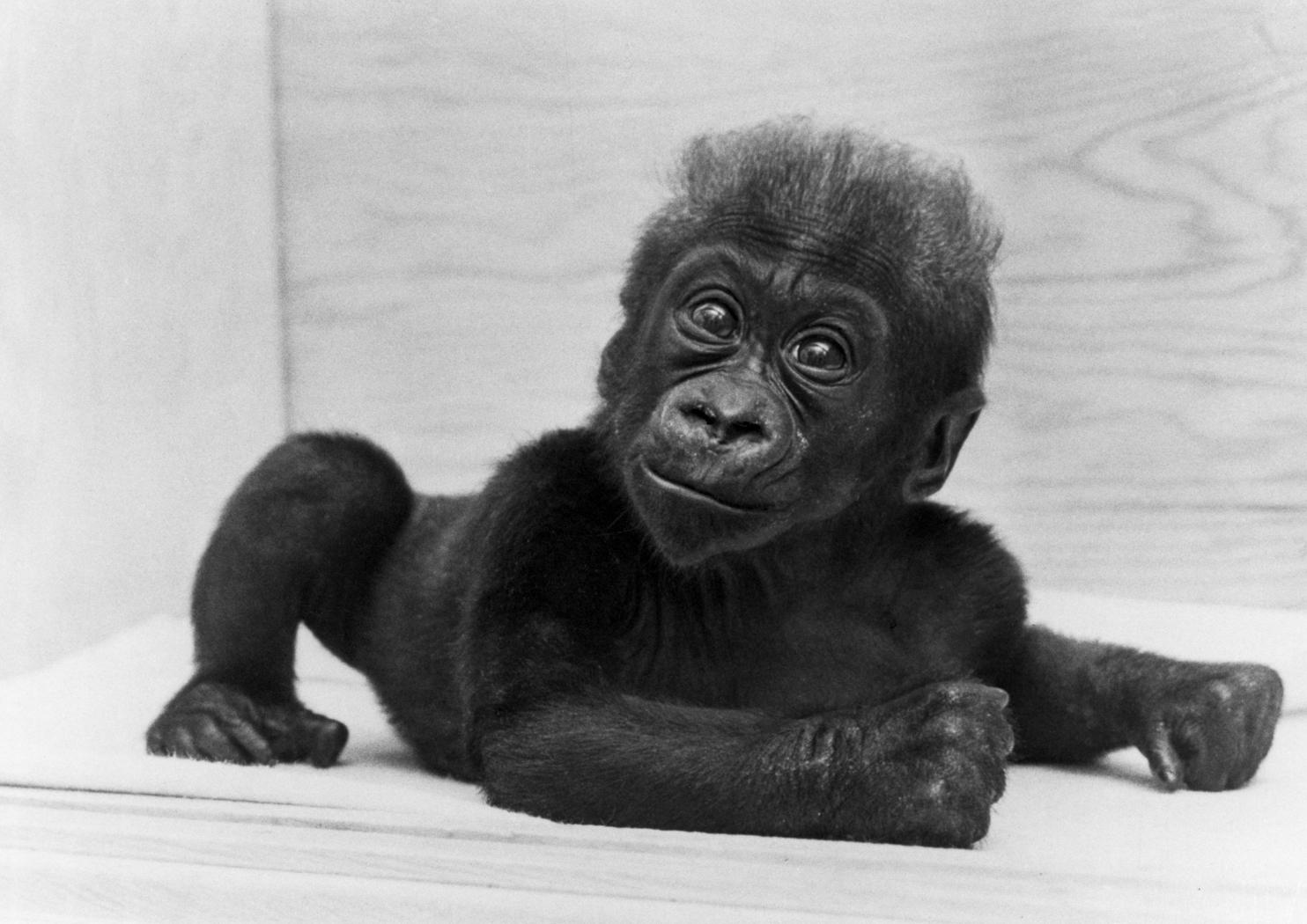 Gorilla (Colo) 1957 445 - Columbus Zoo and Aquarium